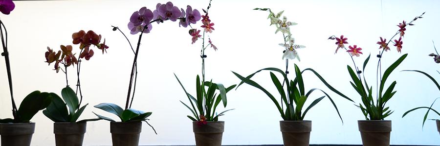 Orchid Evening Queens Botanical Garden